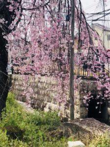 桜祭り  期間限定!サクラのシャンプーがお得