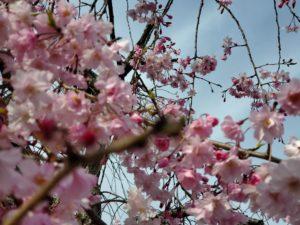 春の桜セール開催中です。